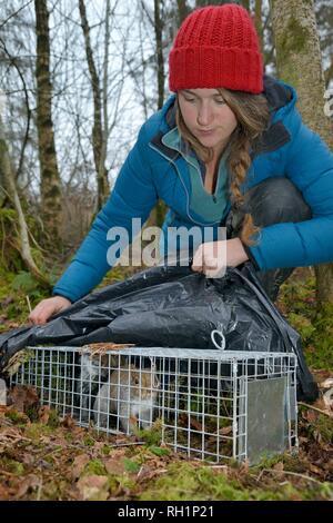 Graue Eichhörnchen (Sciurus carolinensis) in einem Live Capture falle, in einer Studie die Auswirkungen der wieder aufgenommen, Baummarder, Wales zu bewerten inspiziert, UK gefangen Stockbild
