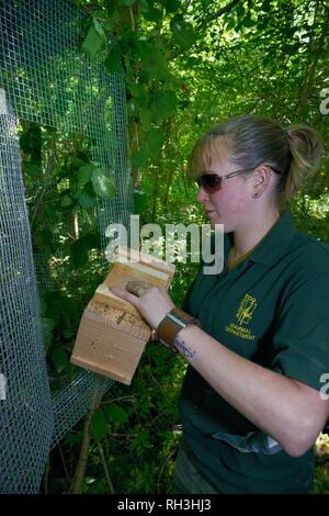 """Frau Orte ein Nest Box mit Hazel haselmäuse (Muscardinus avellanarius) in einem """"weichen"""" Käfig zu einem Baum während einer britischen Wiedereinführung befestigt Stockbild"""
