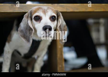 Porträt des Hundes unter Tisch Stockbild