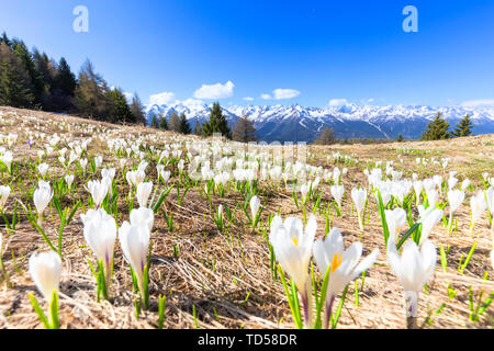 Die Blütezeit von Crocus Nivea in die Bergamasker Alpen, Aprica, Bergamasker Alpen, Valtellina, Lombardei, Italien, Europa Stockbild