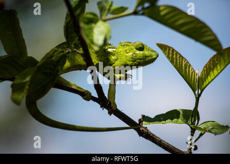 Madagaskars riesigen Chameleon (Furcifer oustaleti), Anja Gemeinschaft finden, Haute Matsiatra Region, Madagaskar, Afrika Stockbild