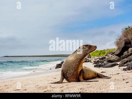 Galapagos Seelöwe (Zalophus wollebaeki) auf einem Strand in Punta Suarez, Espanola (Haube) Island, Galapagos, UNESCO-Weltkulturerbe, Ecuador Stockbild