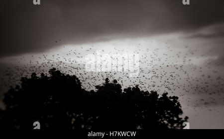 Große Schar Vögel fliegen in den Himmel über dem Wald. Dunkle und launische Natur Hintergrund. Stockbild