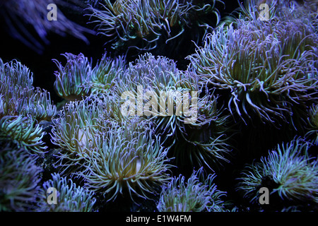 Snakelocks Anemone, Anemonia Viridis, Actiniidae, Actiniaria, Anthozoa, Cnidaria. Süd und West England, mediterran. Stockbild