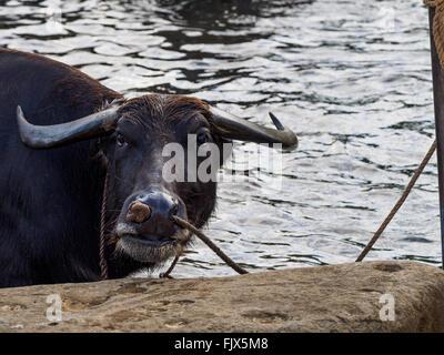 Porträt von Buffalo im Wasser Stockbild