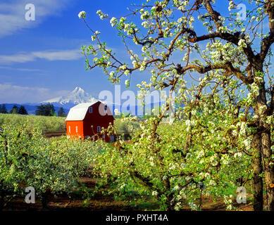 F 00137 M. tif Mount Hood, Scheune und blühende Birne Obstgarten. Hood River Valley, Oregon Stockbild