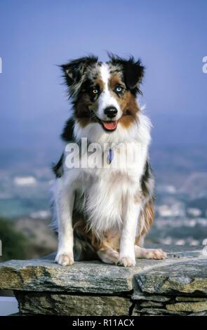 Australischen schafen Hund sitzt auf Felsen ein Auge blau und einem Auge ½ ½ Blau und Braun. © Myrleen Pearson........ Ferguson Cate Stockbild