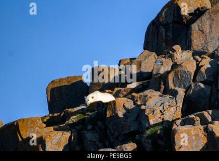 Wilde Eisbären in Svalvard Norwegen, Sie sind jetzt auf der liffs und Felsen, bis das Eis im Winter und Sie reisen dann zu Feed gefangen. Stockbild