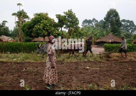 Symphoroza Bujune gekauft Ochsen mit UGS Gruppe Darlehen 500000 von Kolping Uganda Gesellschaft, Uganda, Afrika Stockbild