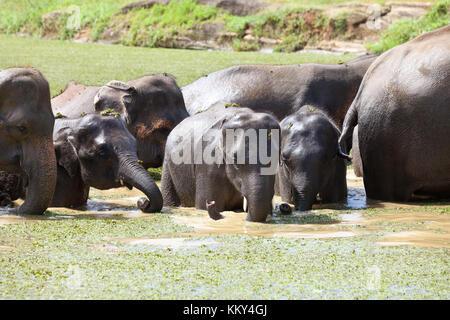 Elefanten babys - Sri Lanka, Asien Stockbild