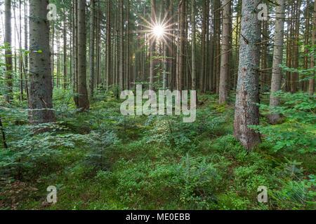 Wald mit Sonne in Neuschoenau im Nationalpark Bayerischer Wald in Bayern, Deutschland Stockbild
