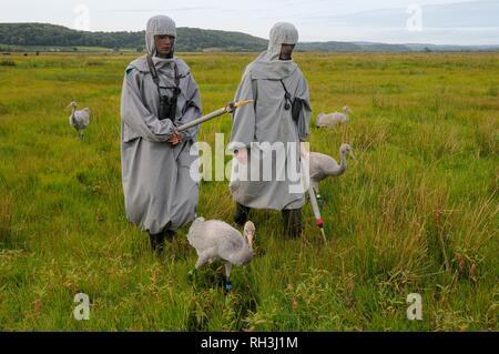 Junge Common/Eurasischen Kraniche (Grus Grus) geführt wird, auf die Somerset Levels und Mauren von surrogat Eltern für das Große Kran-Releases. Stockbild