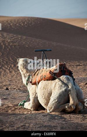 Kamel in der Wüste Sahara Stockbild