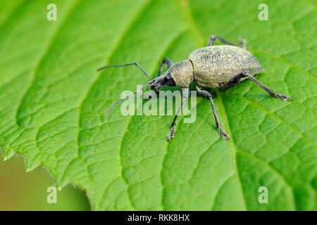 Otiorrhynchus (Otiorhynchus Armadillo armadillo) auf einem Blatt, in der Nähe von Lake Bohinj, Slowenien, Juli. Stockbild