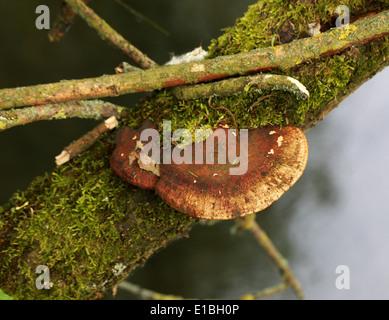 Errötende Halterung Pilz, Daedaleopsis Confragosa, Polyporaceae, auf der Weide Leben. Stockbild