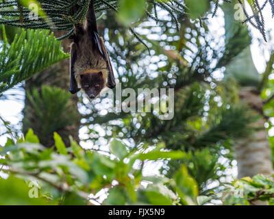 Niedrigen Winkel Porträt der Flughund hängen von Baum Stockbild