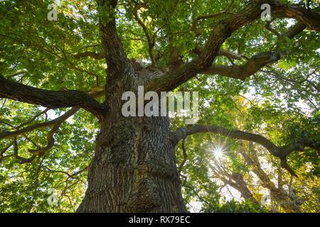 Botanik, Eiche, Richmond Park, England, Additional-Rights - Clearance-Info - Not-Available Stockbild