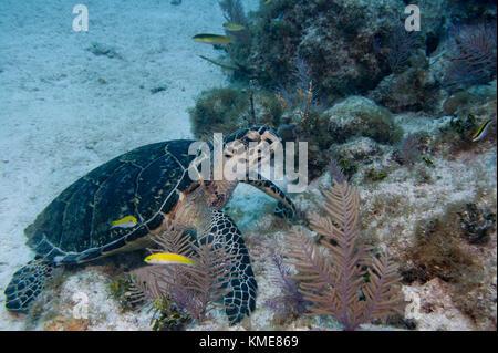 Hawksbill Schildkröte, Key Largo Stockbild