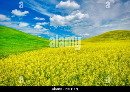 Gelben Raps und Weizen Feld im Frühjahr. Palouse, Washington Stockbild