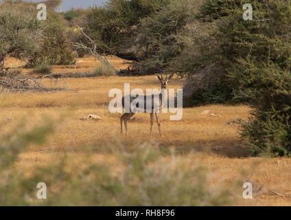 1001 Gazelle im Naturpark, Roten Meer, Saudi-Arabien Farasan, Stockbild