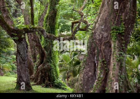 Mauritius - Afrika - alte Baumriesen Stockbild