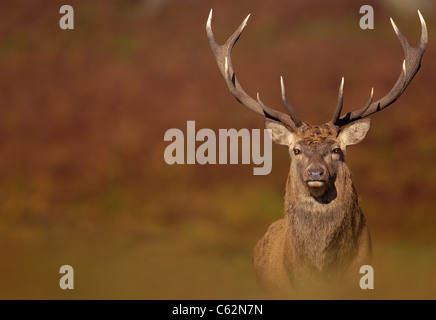 Rothirsch Cervus Elaphus einen Erwachsenen Hirsch gefangen in den herbstlichen (Herbst) Farben des Oktobers rut Stockbild