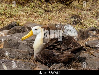 (Phoebastria irrorata winkte Albatross), Punta Suarez, Espanola (Haube) Island, Galapagos, UNESCO-Weltkulturerbe, Ecuador, Südamerika Stockbild