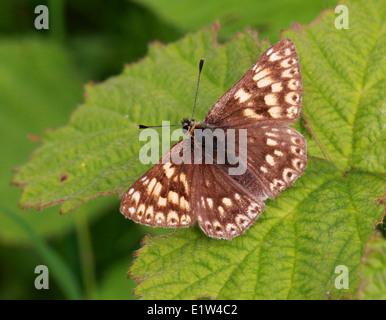 Herzog von Burgund, Hamearis Lucina, Hamearini, Riodininae, Riodinidae, Lepidoptera. Männlich. Mai, Kreide Stockbild