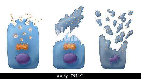 Abbildung: Die drei Arten von exokrinen Sekretion (von links nach rechts): Merocine, Apokrinen und Holocrine. In Merocine Sekretion, die Zelle bleibt intakt; in Apokrine Sekretion, die abgeklemmt Teil der Zelle ist die Sekretion; und in Holocrine, die reife Zelle stirbt und wird zum Sekretorischen Produkt. Stockbild