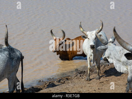 Kühe trinken Wasser in einem See, der Ferne region, Semera, Äthiopien Stockbild