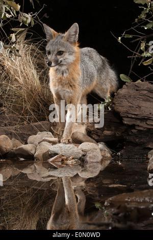 Gray Fox an einer Wasserstelle bei Nacht, Süd-Arizona, Vereinigte Staaten (Urocyon Cinereoargenteus) Stockbild