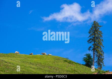 Ländliche Bergidylle mit Kühen in den Schweizer Alpen, Dorf Gais, Kanton Appenzell Ausserrhoden, Schweiz. Stockbild