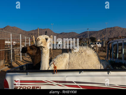 Kamel geladen, die in der Rückseite eines Toyota Auto, Najran Provinz Najran, Saudi-Arabien Stockbild