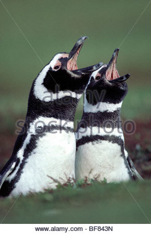 Magellan-Pinguine mit der Aufforderung, Spheniscus Magellanicus, Falkland-Inseln Stockbild