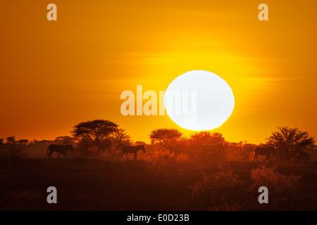Zebras bei Sonnenuntergang, Seregeti, Tansania (Equus Burchelli) Stockbild