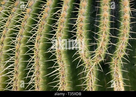 Reihen von Stacheln auf einem goldenen Barrel Cactus/Golden Ball/Schwiegermutter Polster (Mexiko), einer endemischen Arten nach Mexiko, Lanzarote. Stockbild