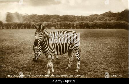 Zebras, zentrale Paddock, der Whipsnade Zoo, in der Nähe von Dunstable, Bedfordshire. Stockbild