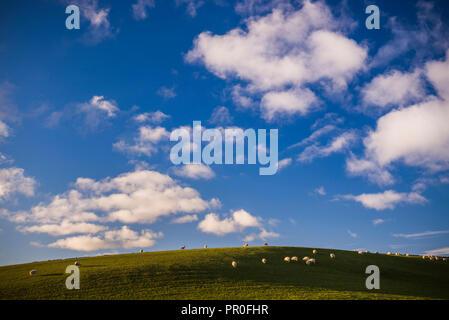 Schafe auf Ackerland im Norden von Wales, Wales, Vereinigtes Königreich, Europa Stockbild