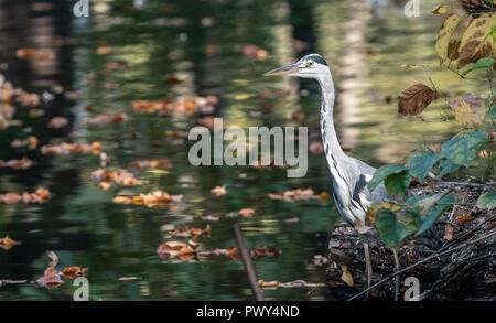 Berlin, Deutschland. Okt, 2018 18. Ein Reiher sitzt an einem Teich in den Zoo. Credit: Paul Zinken/dpa/ZB/dpa/Alamy leben Nachrichten Stockbild