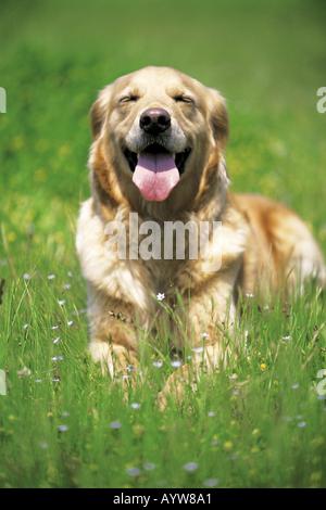 Hund auf der Wiese liegend Stockbild