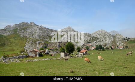 """Asturische Berg Rinder (Bos taurus) Beweidung durch traditionelle Stein Scheunen oder """"ajadas"""" und """"Hirten Cottages, Majada de Belbi, Picos de Europa, Spanien Stockbild"""