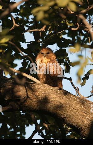 Pel Fishing Owl Schlafplatz im Baum, Moremi Camp, Dead Tree Island, Okavango Delta (Scotopelia Peli) Stockbild