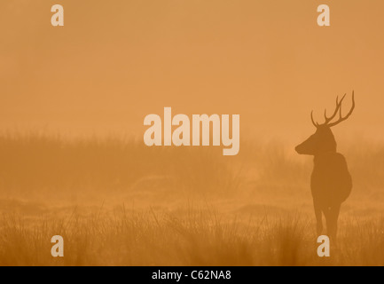 Rothirsch Cervus Elaphus eine junge männliche Silhouette im Morgengrauen Nebel Leicestershire, UK Stockbild