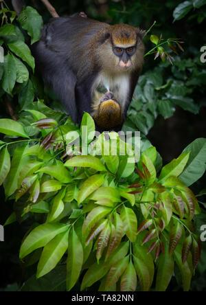 Starrte macaque Affen Mutter mit einem Baby im Wald, Tonkpi Region, Mann, Elfenbeinküste Stockbild