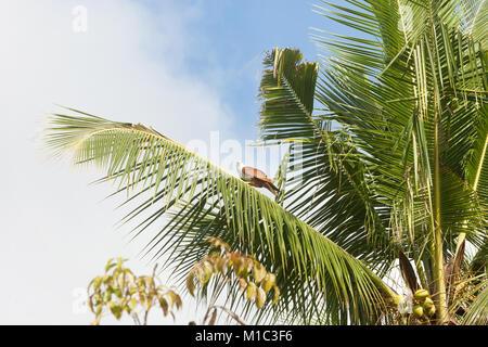 Madu Ganga, Balapitiya, Sri Lanka - ein Riese Seeadler sitzen auf einem Palm Tree verlassen Stockbild