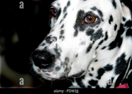 Schließen Sie herauf Bild der dalmatinischen Hund Face HERR © Myrleen Pearson.... Ferguson Cate c Stockbild