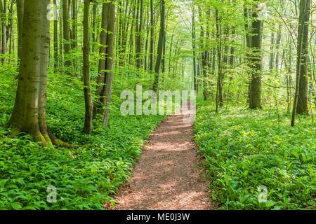 Dappled Licht auf einem Wanderweg in einer Buche Wald im Frühling in Bad Langensalza im Nationalpark Hainich in Thüringen, Deutschland Stockbild