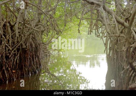 Maduganga See, Balapitiya, Sri Lanka - auf einem Boot Safari durch eine Mangrove tunnel Stockbild