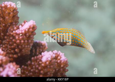 Orange und Türkis Koralle Fisch - Seychellen - Afrika Stockbild