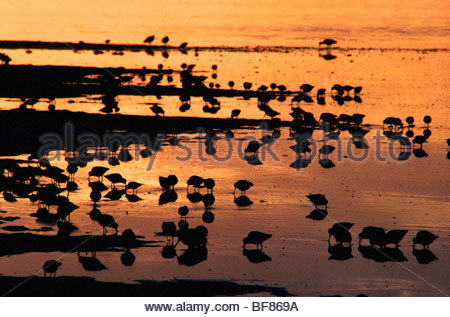 Dowitchers im Morgengrauen, Limnodromus SP., Scammons Lagune, Baja California, Mexiko Stockbild